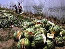 Watermelons Exploding In China